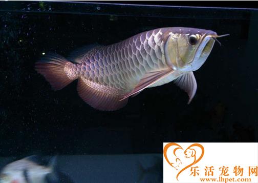 金龙鱼的产地 不同种类的产地也是不同的