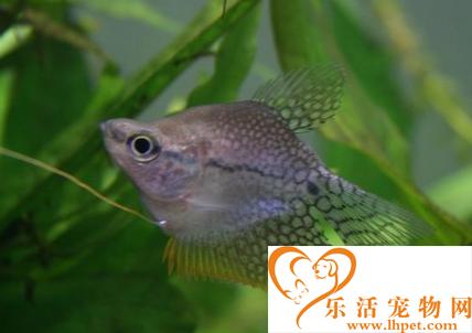 拉利毛足鲈怎么繁殖 该鱼约6个月性成熟
