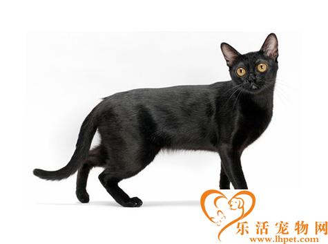 孟买猫图片 孟买猫有哪些体型特征