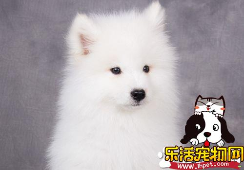 萨摩耶犬好不好养 萨摩耶幼犬时期并不好养