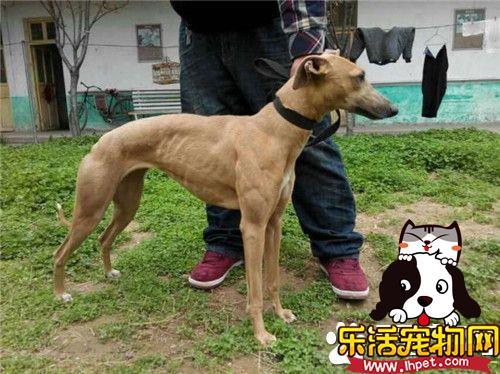 惠比特幼犬价格 很纯的狗狗价格在1500-2000