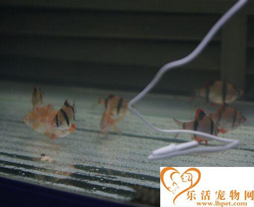 虎皮鱼有多大 一般最长不会超过12cm