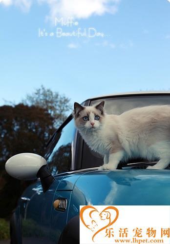 一只布偶猫多少钱 价格太低可能品种不纯