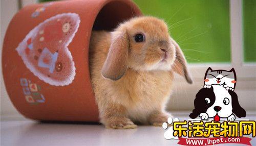兔子的尾巴有多长 兔子尾巴有5到10厘米长
