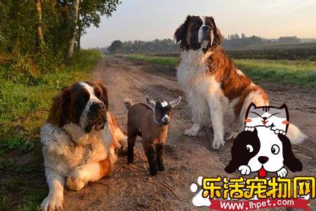 纯种母圣伯纳犬价格 参考价格在3000到5000元