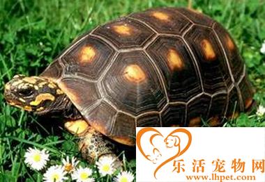 红腿陆龟能长多大 一种中等大小的品种
