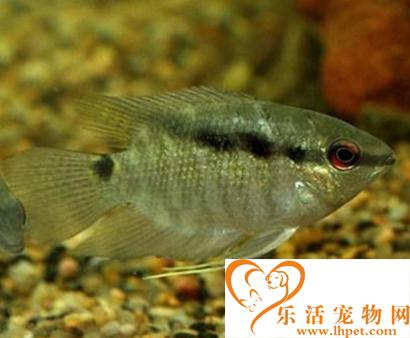 画眉鲷怎么养 该鱼能够适应多种水质