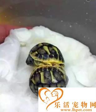 男子野外发现一对连体小龟 急中生智就小龟