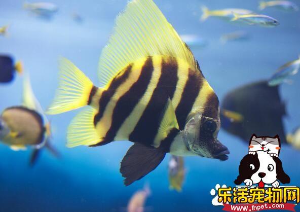 什么大型热带鱼好养 地图鱼是好养的热带鱼