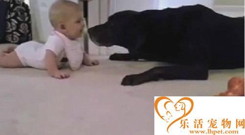 汪星人也有爱 深情一吻奖励学爬行的宝宝