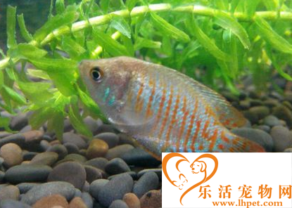 丽丽鱼怎么分公母 颜色饱满的是公鱼