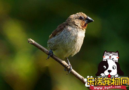 斑文鸟价格 斑文鸟被列为保护动物不能买