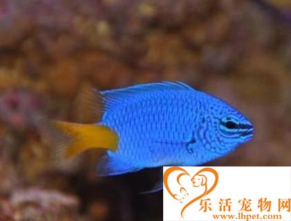 黄尾蓝魔鬼吃什么 该鱼对食物要求不苛刻