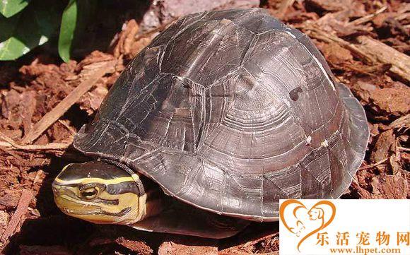 安布闭壳龟的室内饲养 冬季6天彻底换一次水