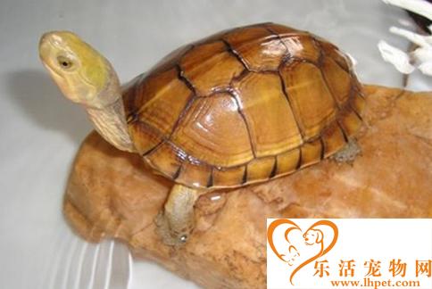 黄喉拟水龟图片 如果挑选观赏龟黄喉拟水龟
