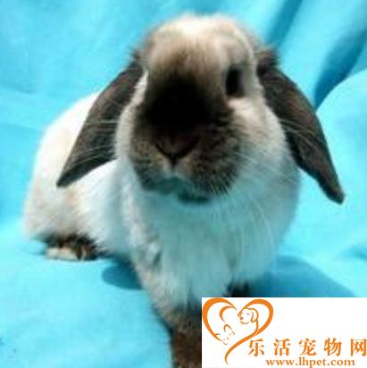荷兰侏儒兔价格 兔子的主食是牧草