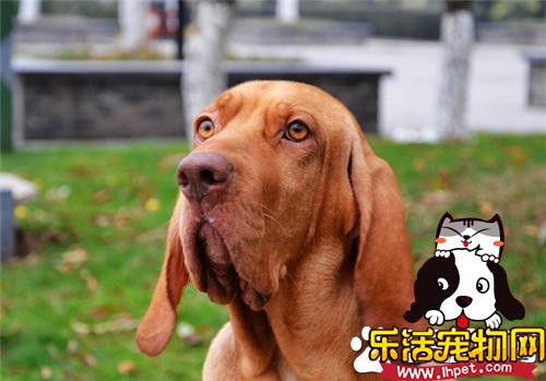 寻血猎犬能捉什么动物 用嗅觉来追踪猎物