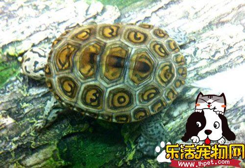 花钻龟好养吗 如何营造一个好的龟生活环境