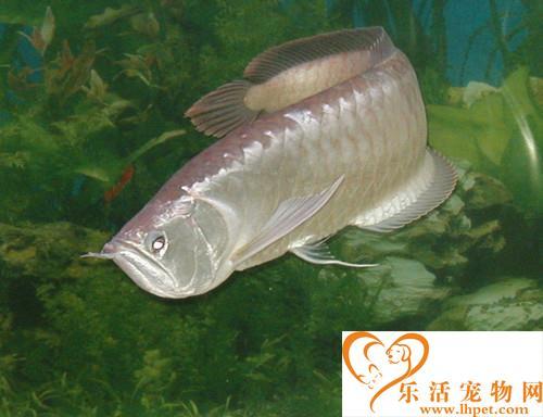 银龙鱼养几条好 和饲主出生的年月日有关