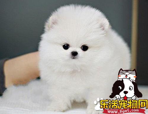 博美犬贵不贵 幼犬的价格一般在2000到8000元