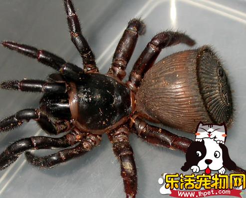 蜘蛛吃蚊子吗 宠物蜘蛛是可以吃蚊子的