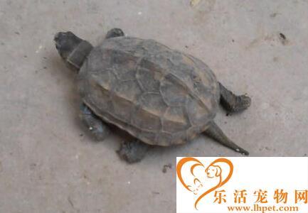 乌龟的生活习性 乌龟脱壳是极为罕见的现象
