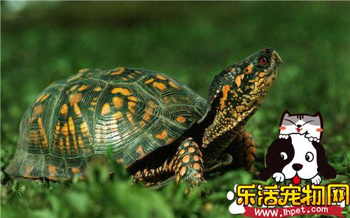 秋天乌龟怎么养 秋天饲养乌龟的小技巧