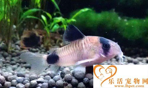 熊猫鼠繁殖 3天左右小鱼将孵化出来