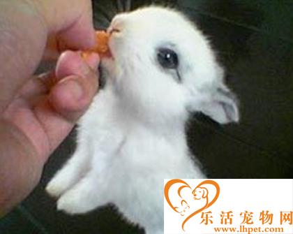 荷兰侏儒兔怎么饲养  一日三次喂食饲料