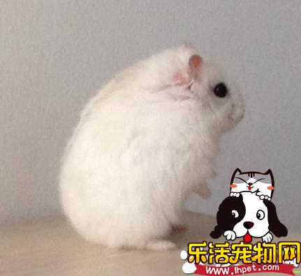 布丁仓鼠怎么养 布丁仓鼠的饲养方法