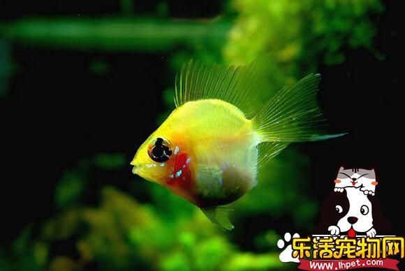 容易饲养的热带鱼 孔雀鱼是最容易饲养热带鱼