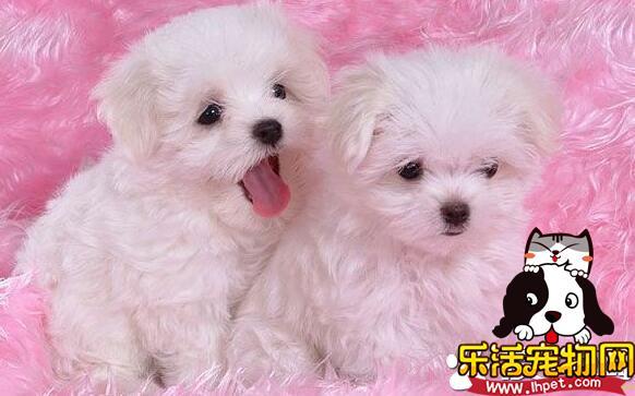 萨摩耶犬寿命 萨摩耶寿命一般在12到15年