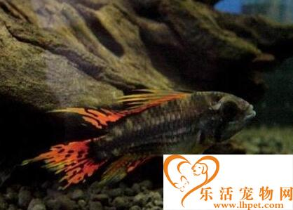 凤尾短鲷吃什么 该鱼最好不要混养
