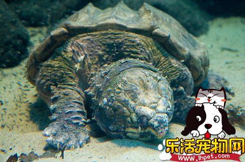 鳄鱼龟好养吗 饲养鳄鱼龟该注意的地方