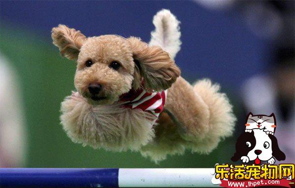 玩具贵宾犬多少钱一只 价格都不会低于2000元
