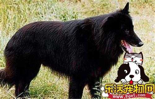 比利时牧羊犬的种类 比利时牧羊犬的四种形态