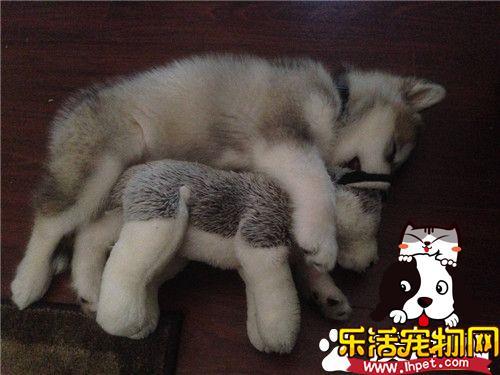 阿拉斯加雪橇犬战斗力 阿拉斯加是大型犬