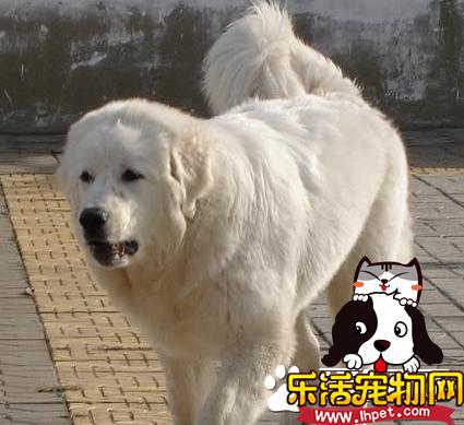 大白熊犬如何辨认 白金毛犬与大白熊犬的区别